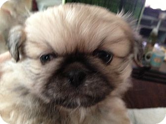 Pekingese Puppy for adoption in Hilliard, Ohio - Chang