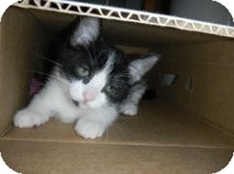 Domestic Shorthair Kitten for adoption in Huffman, Texas - Tip