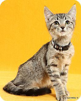 Domestic Shorthair Kitten for adoption in Las Vegas, Nevada - Firefly