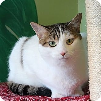 Domestic Shorthair Cat for adoption in Columbia, Illinois - Polka