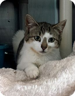 Domestic Shorthair Kitten for adoption in Union, New Jersey - Sippy Cup