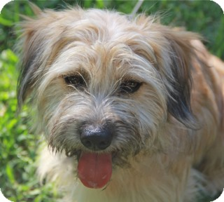 Wheaten Terrier/Cairn Terrier Mix Dog for adoption in Woonsocket, Rhode Island - Madigan