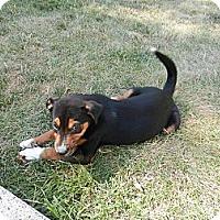 Adopt A Pet :: Max - South Jersey, NJ