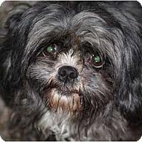 Adopt A Pet :: Courtney - Love Bug - Toronto/Etobicoke/GTA, ON