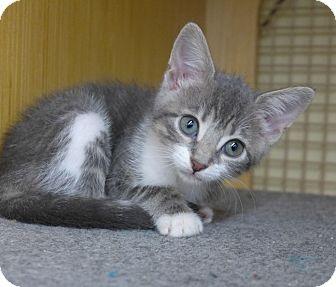 Domestic Shorthair Kitten for adoption in Jacksonville, Florida - Mae