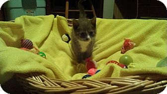 Domestic Mediumhair Kitten for adoption in Franklin, Indiana - Giovanni