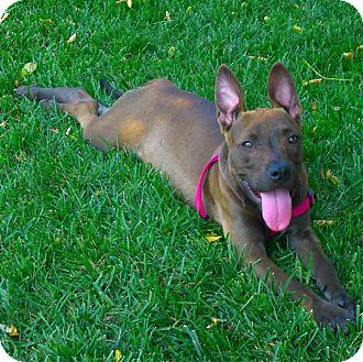 Mastiff/German Shepherd Dog Mix Puppy for adoption in Sacramento, California - Trixie very unique coat color
