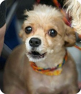 Poodle (Miniature)/Terrier (Unknown Type, Small) Mix Dog for adoption in Las Vegas, Nevada - Mitzi