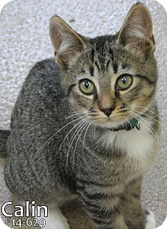 American Shorthair Kitten for adoption in Tiffin, Ohio - Calin