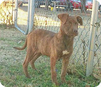 Pit Bull Terrier/Terrier (Unknown Type, Medium) Mix Puppy for adoption in Stillwater, Oklahoma - Macy