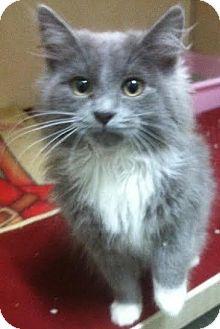 Domestic Longhair Kitten for adoption in Westminster, California - Hunk