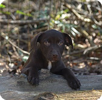 Labrador Retriever Mix Puppy for adoption in Groton, Massachusetts - Gronk