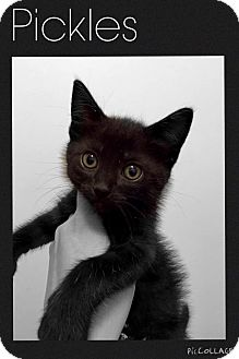 Domestic Mediumhair Kitten for adoption in Mansfield, Texas - Pickles