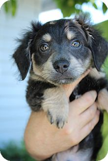 Chihuahua/Dachshund Mix Puppy for adoption in Grants Pass, Oregon - Otis