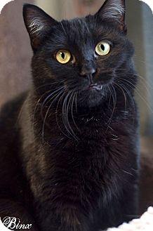 Domestic Shorthair Cat for adoption in Manahawkin, New Jersey - Binx
