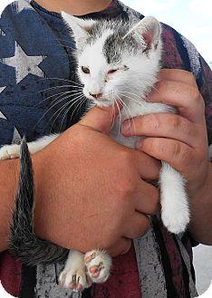 Domestic Shorthair Kitten for adoption in Parkton, North Carolina - Tom