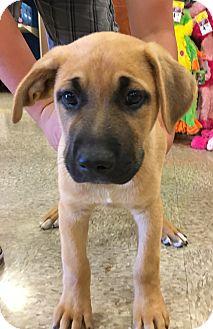 Labrador Retriever/Shepherd (Unknown Type) Mix Puppy for adoption in Santa Ana, California - Bingley