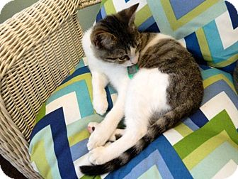 Domestic Shorthair Kitten for adoption in The Colony, Texas - Theta