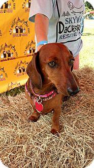 Dachshund Dog for adoption in Pinellas Park, Florida - Midnight