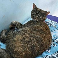 Domestic Mediumhair Cat for adoption in Canfield, Ohio - VAMPYRA