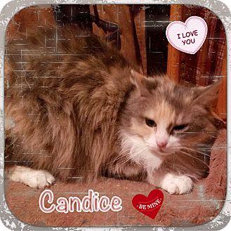 Ragdoll Cat for adoption in Harrisburg, North Carolina - Candice