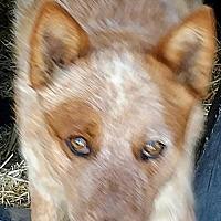 Adopt A Pet :: RED - Pena Blanca, NM