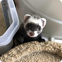 Adopt A Pet :: ZUCCHINI - Brandy Station, VA