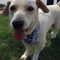 Labrador Retriever Mix Dog for adoption in Schertz, Texas - Israel JH