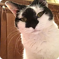 Domestic Shorthair Cat for adoption in Chicago, Illinois - Mrs. Ford