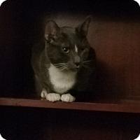 Domestic Shorthair Cat for adoption in Savannah, Georgia - Smokey