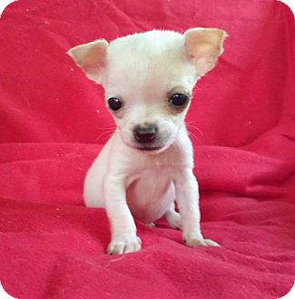 Chihuahua Puppy for adoption in Lawrenceville, Georgia - Thumbelina