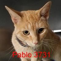 Adopt A Pet :: Pablo - Manassas, VA