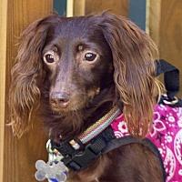 Adopt A Pet :: Adoption pending - Chocolate Muffin - Orangeburg, SC