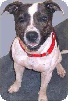 American Pit Bull Terrier Mix Dog for adoption in Grass Valley, California - Pattie*URGENT*