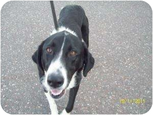Border Collie Mix Dog for adoption in Barron, Wisconsin - Gunner