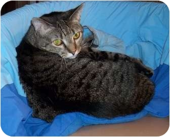 Domestic Shorthair Cat for adoption in Acme, Pennsylvania - Wiki