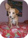 Corgi Mix Dog for adoption in Santa Monica, California - Rosie