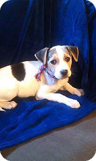 Beagle Mix Puppy for adoption in Newark, Delaware - Chloe