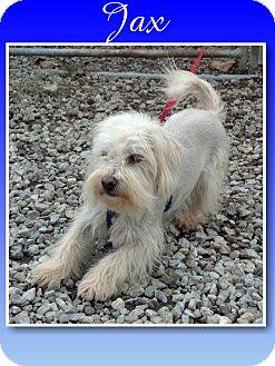 Shih Tzu/Westie, West Highland White Terrier Mix Dog for adoption in Delaware, Ohio - Jax