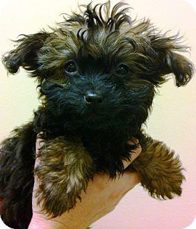 Pomeranian/Poodle (Miniature) Mix Puppy for adoption in Oswego, Illinois - I'M ADPTD Baby Belle McDaniel