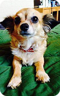 Chihuahua Mix Dog for adoption in Scottsdale, Arizona - Sweets
