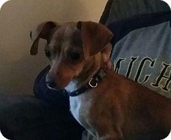 Chihuahua/Dachshund Mix Dog for adoption in China, Michigan - Pappy