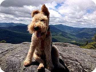 Welsh Terrier Mix Dog for adoption in kennebunkport, Maine - Jake - in Maine