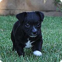 Adopt A Pet :: Mena - La Habra Heights, CA