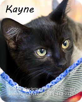 Domestic Shorthair Cat for adoption in Somerset, Pennsylvania - Kayne