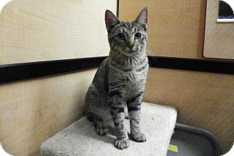 Domestic Shorthair Kitten for adoption in Riverside, California - Linda