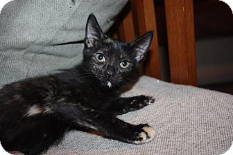 Domestic Shorthair Kitten for adoption in Little Falls, New Jersey - Charity (LE)