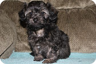 Terrier (Unknown Type, Small)/Poodle (Miniature) Mix Puppy for adoption in Tucson, Arizona - Bandit