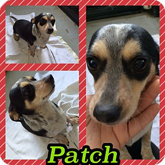 Miniature Pinscher/Chihuahua Mix Dog for adoption in Pahrump, Nevada - Patch
