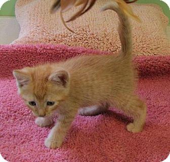 Domestic Shorthair Kitten for adoption in Port St. Joe, Florida - Tawny